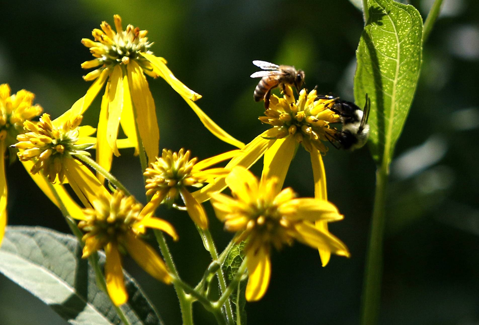 Several species of bees occupy the same flower in a prairie area at North Central College along the DuPage River.